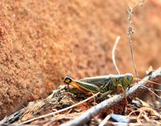 Free Watchful Grasshopper Royalty Free Stock Images - 3488959