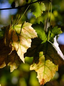 Free Vineyard Leaves Royalty Free Stock Photography - 3489387