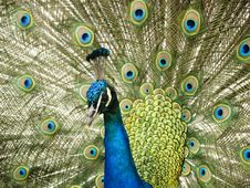 Free Colorful Peacock Stock Photos - 3489483