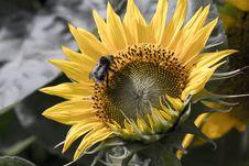 Free Bumblebee On Sunflower Stock Photo - 34804500