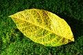 Free Yellow-green Leaf Stock Image - 34811591