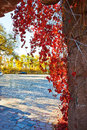 Free The Autumn Red Leaves Vine Stock Photography - 34818262
