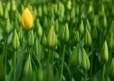 Free Yellow Tulips, Green Buds Stock Image - 34816371