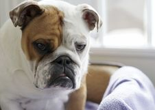 Free English Bull Dogs - Sad Expression Stock Photography - 34816622