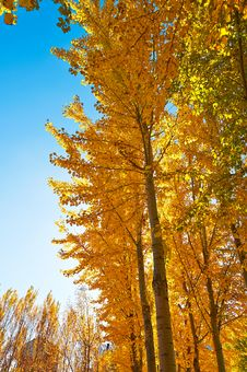 Free The Gloden Leaves And Blue Sky Stock Photo - 34818950