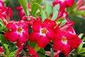 Free Desert Rose Flower Royalty Free Stock Photography - 34824157