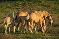 Free Horses Pasture Royalty Free Stock Image - 34825936