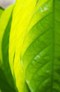 Free Tropical Green Leaves Royalty Free Stock Image - 34826436