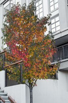 Free Autumn Maple Tree Stock Photos - 34822293