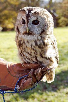 Free Tawny Owl Stock Image - 34822851