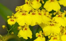 Oncidium Goldiana Orchid Stock Photo