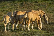 Free Horses Pasture Royalty Free Stock Image - 34825936