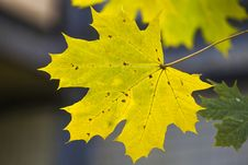 Free Yellow Maple Leaf Royalty Free Stock Photos - 34835718