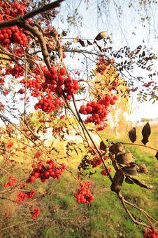 Free Rowan Berries Branches Royalty Free Stock Photo - 34835965