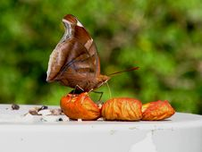 Free Butterfly Eating A Guava Royalty Free Stock Photo - 34836025