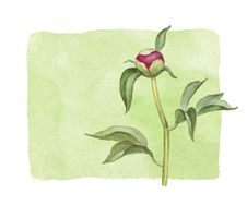 Free Watercolor Peony Flower Royalty Free Stock Photos - 34836248