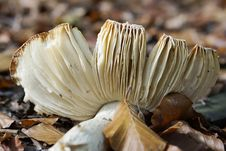 Broken Mushroom Stock Photos