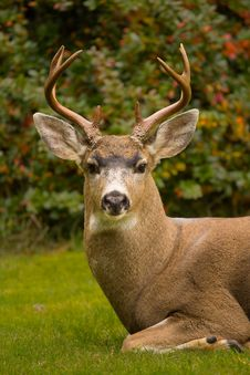 Free Black-tailed Deer Stag Stock Images - 34841494