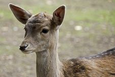 Portrait Of A Young Deer Royalty Free Stock Photography