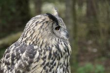 Free Portrait Of An Owl Stock Images - 34842354