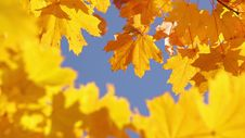 Free Maple Leaves And Sky Royalty Free Stock Photography - 34846517