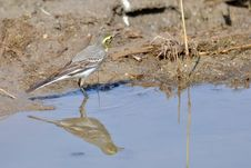 Citrine Wagtail Stock Photography