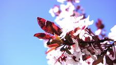 Free Cherry Blossom Stock Photos - 34851083