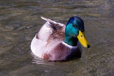 Free Swimming Duck Close-up Stock Image - 34853271