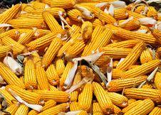 Free Big Crop Of Yellow Corn Stock Photo - 34862700