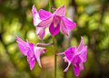 Free Purple Orchid Stock Photography - 34870072