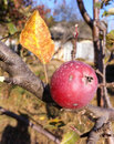 Free Apple On A Branch Royalty Free Stock Image - 34870746