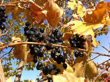 Free Grapes Aladasturi Stock Photography - 34870222