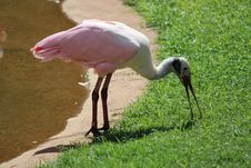 African Spoonbill Royalty Free Stock Photo