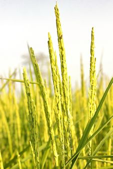Free Rice Grain Royalty Free Stock Image - 34871996