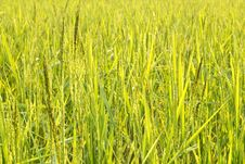 Free Rice Grain Royalty Free Stock Photos - 34871998