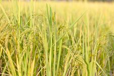 Free Rice Grain Stock Photos - 34872013