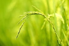 Free Rice Grain Stock Photos - 34872033