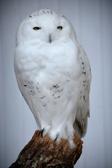 Free Snow Owl Royalty Free Stock Image - 34872586