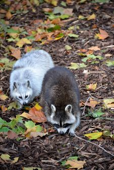 Free Raccoon Royalty Free Stock Image - 34872596