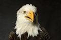 Free Studio Portrait Of Bald Eagle Stock Images - 34881264