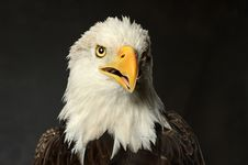 Studio Portrait Of Bald Eagle