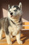Free Portrait Of Husky Puppy Royalty Free Stock Image - 34882816