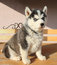 Free Portrait Of Husky Puppy Stock Image - 34882821