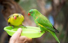 Free Green Lorikeet Feeding Stock Image - 34891911