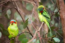 Free Australian Green Parrots On A Tree Stock Photography - 34892112