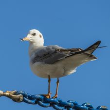Free Seagull Royalty Free Stock Image - 34897736