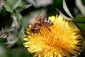 Free Honeybee On Dandelion Royalty Free Stock Images - 3498569