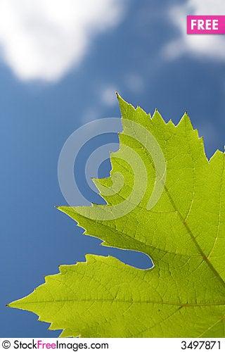 Free Grape Leaf Stock Image - 3497871