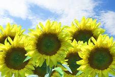 Free Sunflowers Royalty Free Stock Photo - 3490185