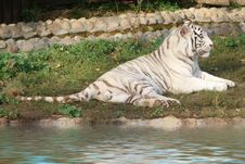 Free White Tiger. Royalty Free Stock Images - 3490189